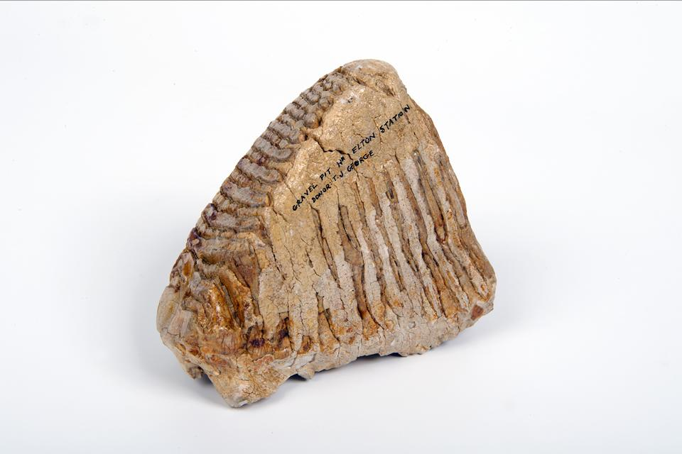 Mammoth tooth from the gelogy collection